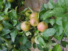 Pommes sous la pluie