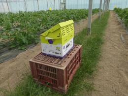 Pollinisation par ruche de bourdons en serre multichapelle de tomate