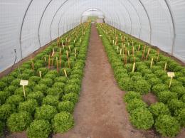 Essai LILLA sur culture de laitue batavia mis en place dans le cadre du projet Ecophyto LILLA, CTIFL centre de Lanxade (24) automne 2015