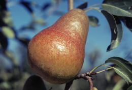 Poire Harrow Sweet P 2215 : fruit avec une face rosée, dans l'arbre