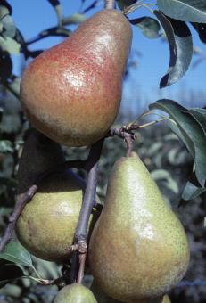 Zoom sur Harrow Sweet, variété de poire