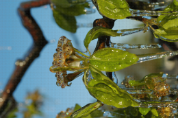 Protection contre le gel par aspersion sur poirier - Corymbe floral