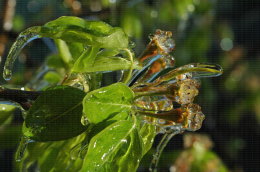 Protection contre le gel par aspersion sur poirier - Jeunes fruits proches de la nouaison