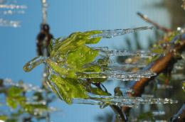 Protection contre le gel par aspersion sur poirier - Corymbe végétatif avec des stalactites