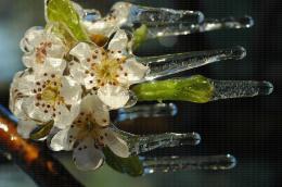 Protection contre le gel par aspersion sur poirier, variété Williams - Fleurs et stalactites