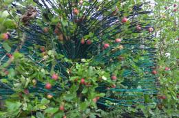 Eclairvale® à tige bleue : récolte mécanique de pomme, conduite en haie fruitière étroite