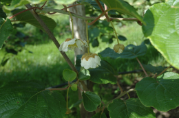 Boutons floraux d'Hayward (Actinidia deliciosa)