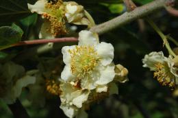 Fleur mâle d'Hayward (Actinidia deliciosa)