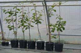 Plant d'un an de Petit Homme (Actinidia deliciosa)