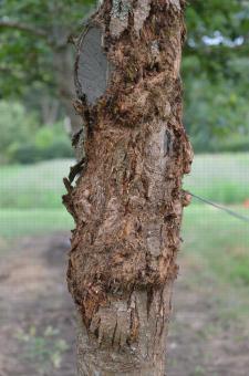 Chancre du châtaignier (Cryphonectria parasitica) se propageant sur la totalité du tronc de l'arbre