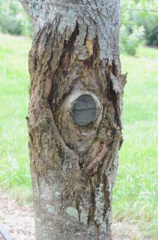 Chancre du châtaignier (Cryphonectria parasitica) envahissant le tronc au delà de son point d'infection (plaie de taille)
