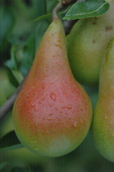 Fruit de la variété de poire Harrow Love