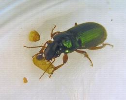 Carabe Harpalus affinis consommant une pupe de mouche de l'olive