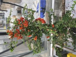 Pyracantha coccinea : plante pièges pour la gestion de Drosophila suzukii