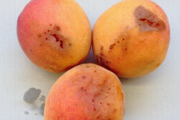 Dégâts de Drosophila suzukii sur abricots