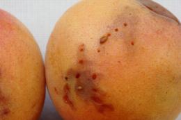 Dégâts de Drosophila suzukii sur abricot