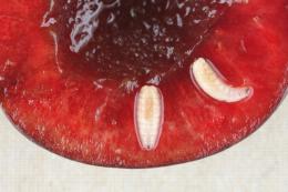 Mouche de la cerise, larves