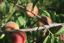 Tavelure noire du pêcher, dégâts sur fruits