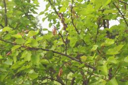 Monilia sur fleurs et rameaux, dégât sur abricotier