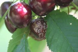 Moniliose sur fruit, dégât sur cerise
