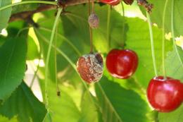 Monilia sur fruit, dégât sur cerise