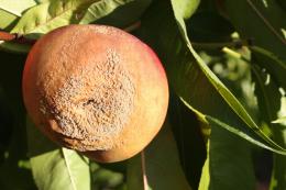 Moniliose sur fruit, dégâts sur pêche au verger