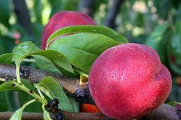 Rosée sur fruit