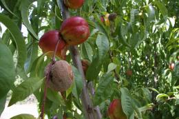 Moniliose sur fruit, dégât sur pêche au verger