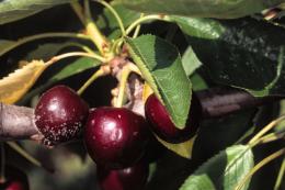 Rhizopus sur fruit, dégât sur cerise