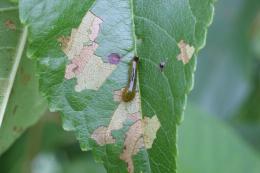Tenthrède limace, larve