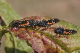 Coccinelle Harmonia, larves