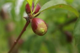 Dégât de Thrips meridionalis sur nectarine