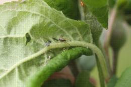 Araignée Theridiidae dans un foyer naissant de pucerons cendrés du pommier
