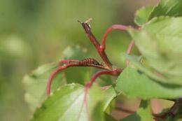 Petite mineuse du pêcher, larve
