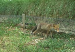 Diversité faunistique Balandran - Renard roux (Vulpes vulpes). L'animal se trouve devant la barrière anti-campagnol