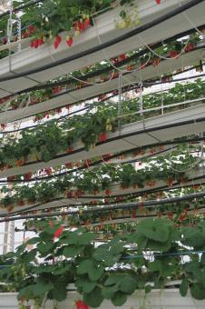 Culture hors-sol de fraisier en étages superposés