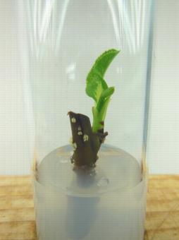 Mise en culture in vitro par bourgeon axillaire d'un porte-greffe de poirier
