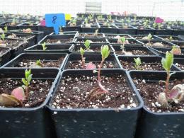 Hybrides issus de germination de noyaux d'abricot