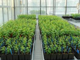 Plants hybrides issus de la germination de noyaux d'abricot