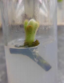 Mise en culture in vitro d'Actinidia chinensis