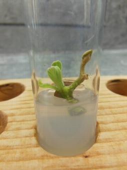 Mise en culture in vitro d'Actinidia chinensis - Nécrose du bourgeon terminal et redémarrage d'un bourgeon axillaire