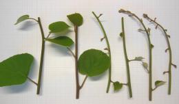 Matériel de départ pour mise en culture in vitro d'Actinidia chinensis