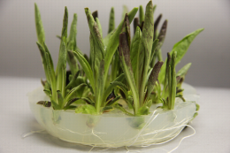 Plants racinés in vitro de chicorée Chioggia