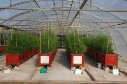 Reprise de croissance d'une culture d'asperge en hors-sol en automne après production à contre saison