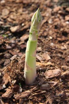 Turion d'asperge verte en production d'automne à contre saison en pallox hors-sol