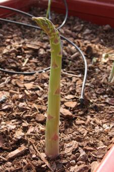 Turion d'asperge verte produit à contre saison en pallox hors-sol
