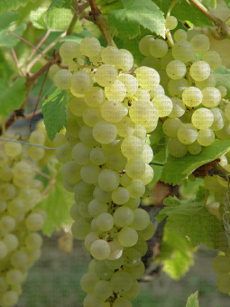 Chasselas, variété de raisin de table