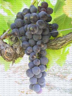 Alphone Lavallée, variété de raisin de table