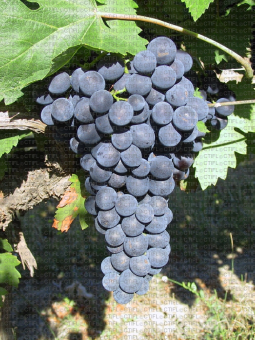 Prima, variété de raisin de table