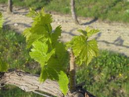 Vigne, stade phénologique E8